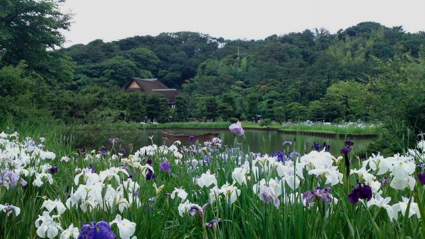 三渓園 杜若と大池.jpg