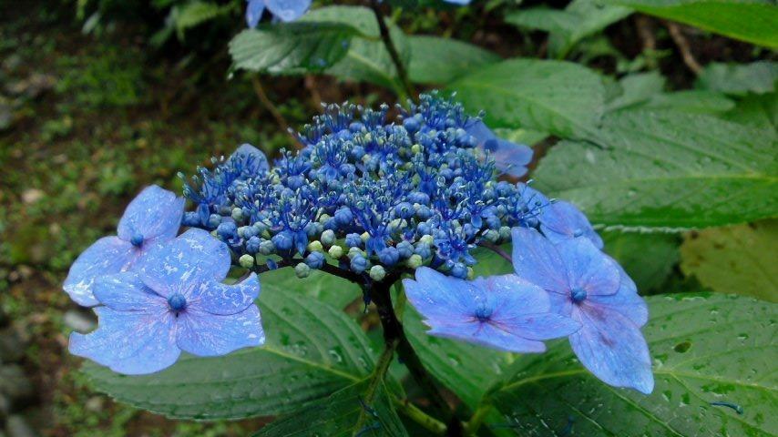 三渓園 紫陽花.jpg