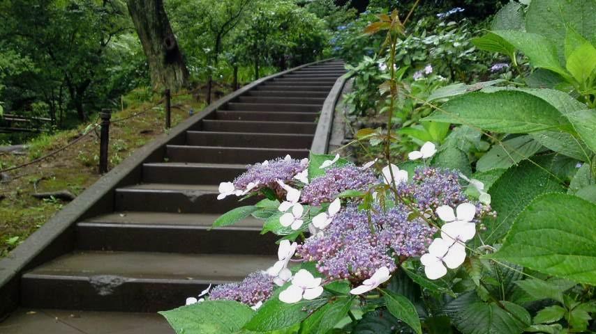 三渓園 紫陽花と階段.jpg