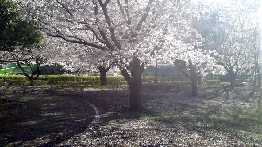 祖師谷公園 桜5.jpg