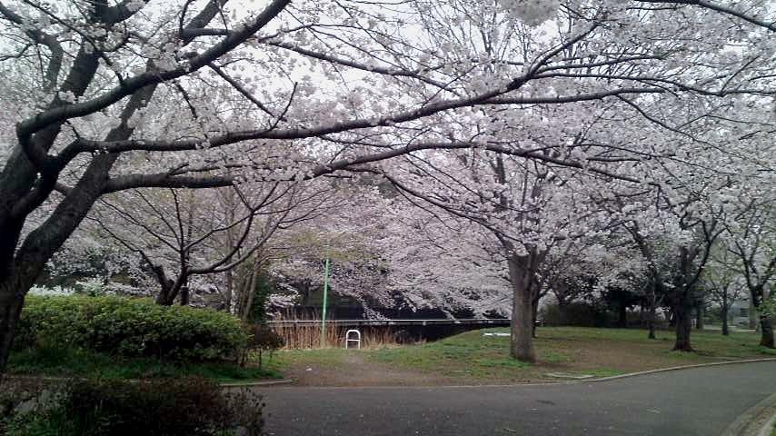 祖師谷公園 桜9.jpg
