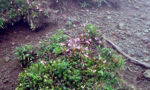 乗鞍岳 高山植物3.jpg