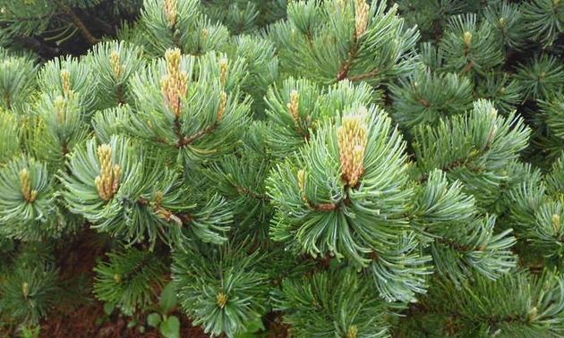 乗鞍岳 高山植物2.jpg