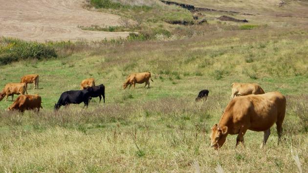 熊本 阿蘇のあか牛と黒牛.jpg
