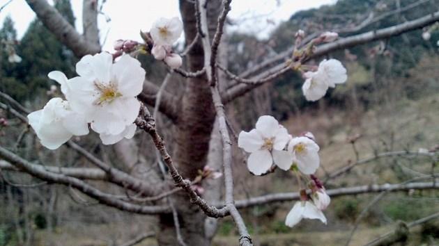 鳥越 ランの桜.jpg