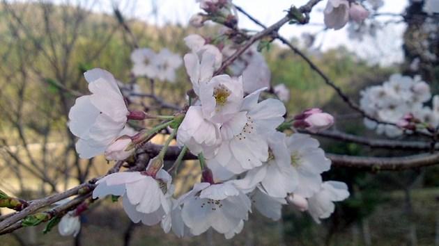 鳥越 Jの桜.jpg